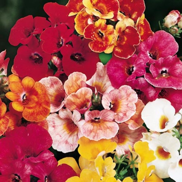 Omaxe Nemesia Carnival Mixed Seeds