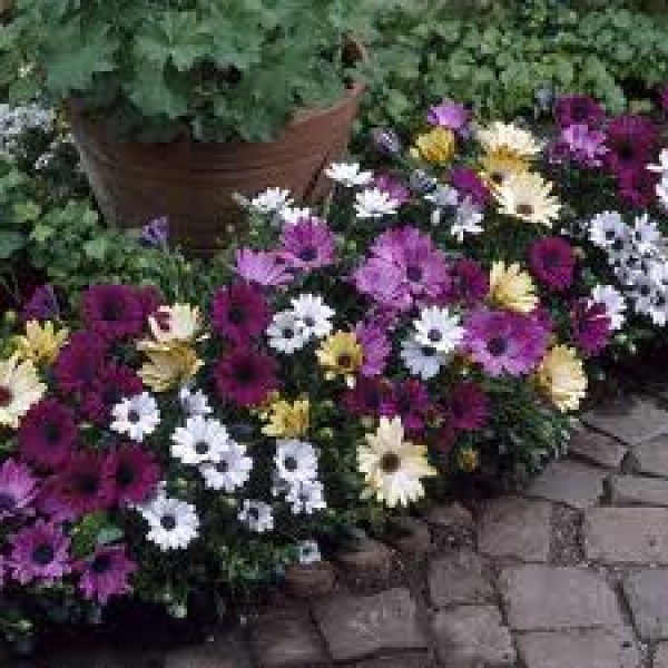 Osteospermum - Dimorphoteca Mixed Seeds