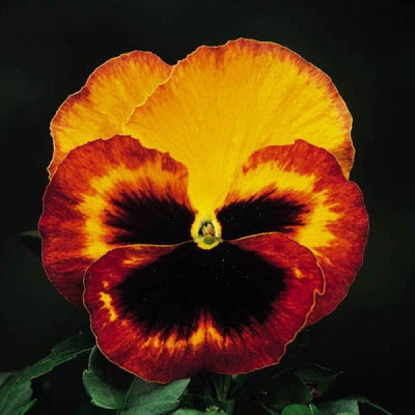 Pansy F1 Delta Fire Seeds