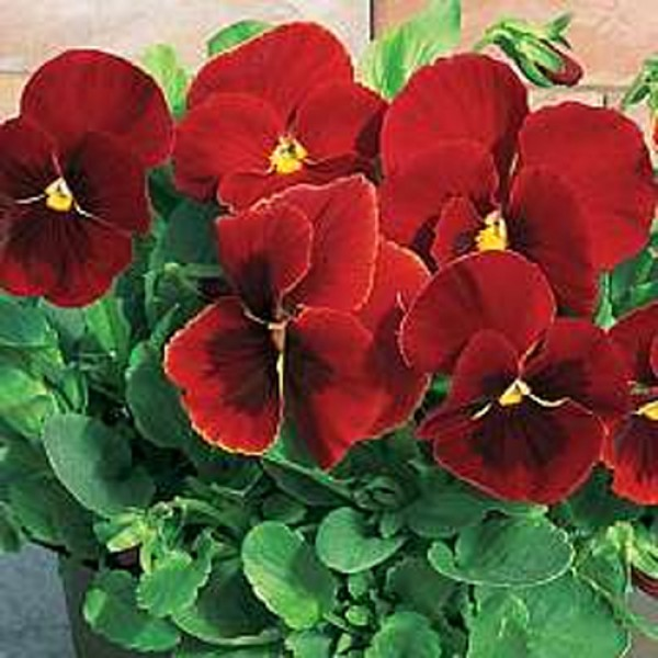Omaxe Pansy F1 Scarlet Red Blotch Seeds