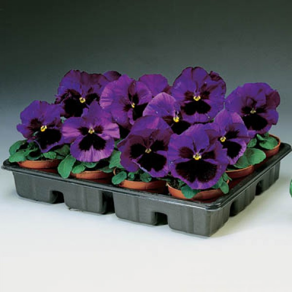 Omaxe Pansy F1 blue Blotch Seeds