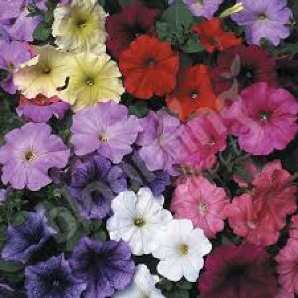 Petunia Grandiflora Mixed Seeds