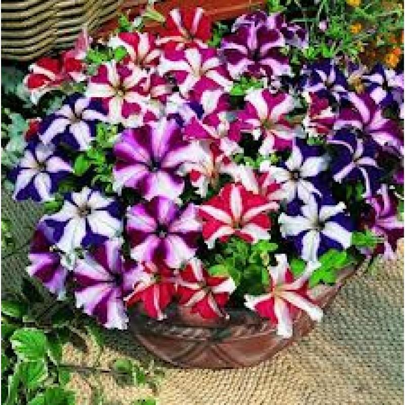 Buy Petunia Ultra Star Seeds Online At Cheap Price On Plantsguru Com