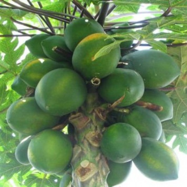 Papaya Selection 1 - Seeds