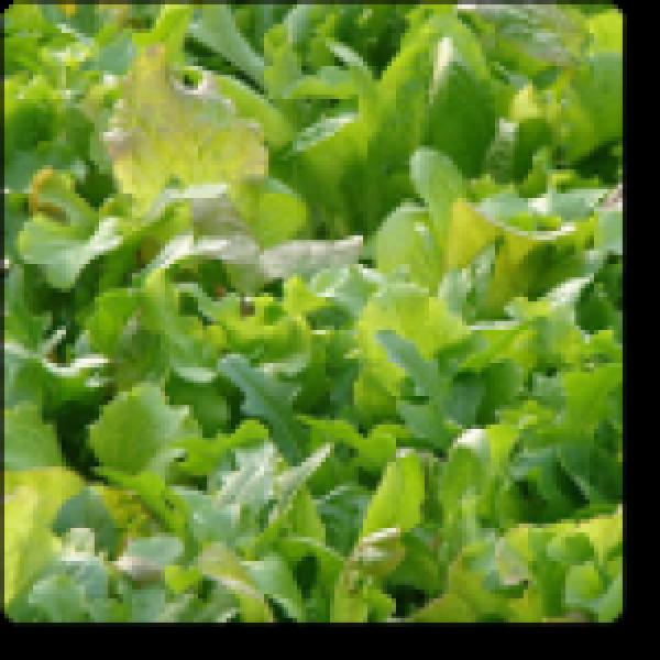 Omaxe Herb Misticanza Seeds