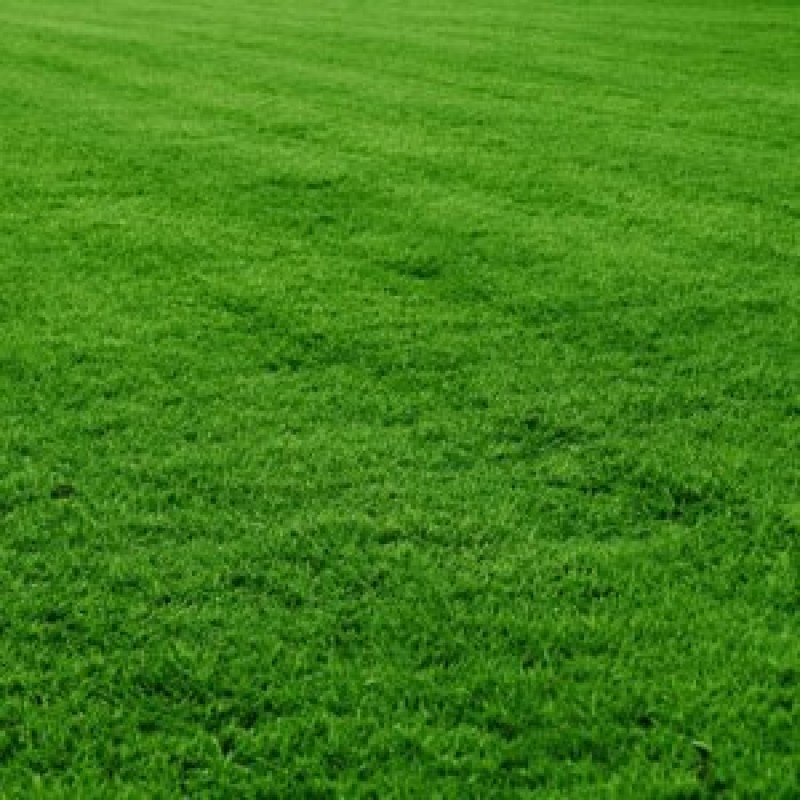 Mexican Lawn Grass Seeds 100 Grams Buy Online At