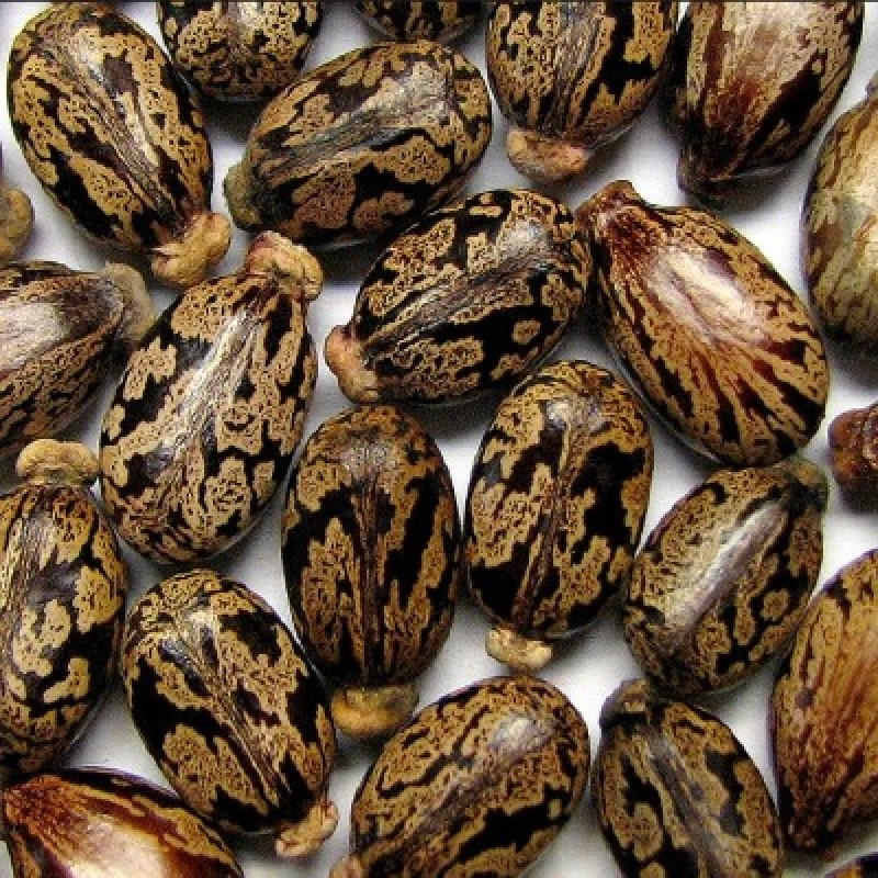 Ricinus Communis Castor Oil Plant Arandi Seeds 1kg