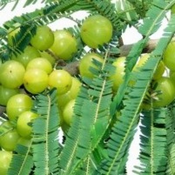 Amla (big size fruit) Indian Goosberry, Phyllanthus emblica Plant