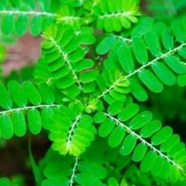Bhui Amla - Phyllanthus Niruri Plant