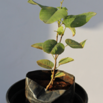 Red Sandalwood Plant - Lal Chandan, Rakt Chandan
