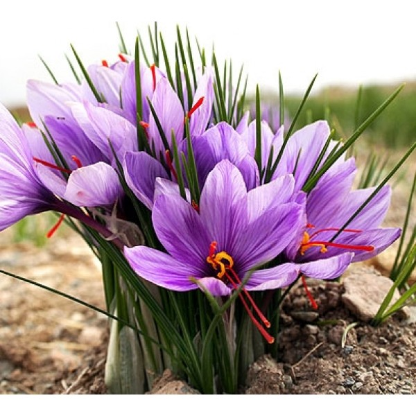 Saffron Bulbs ( Kesar Bulbs ) pack of 5 bulbs