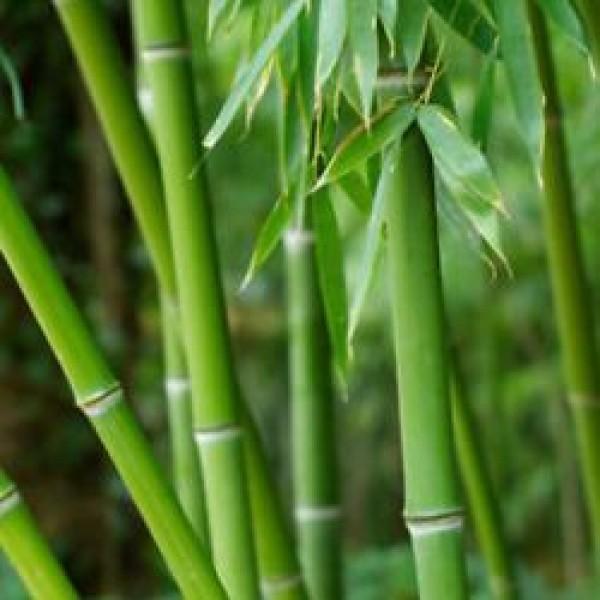 Dendrocalamus - Bamboo Plant