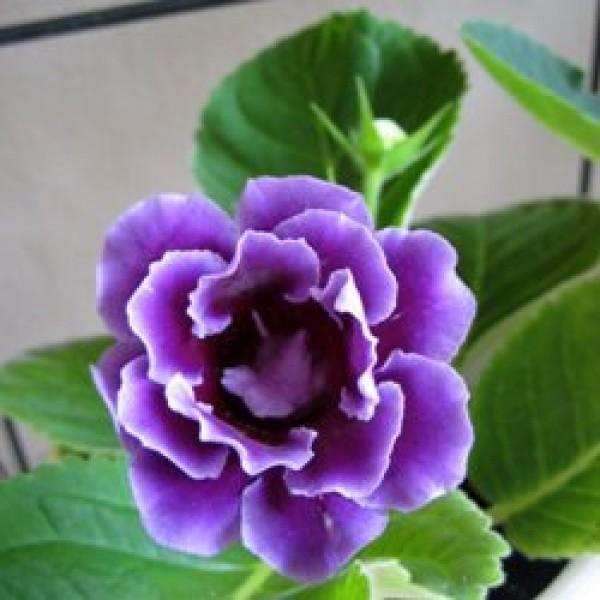 Gloxinia Blue Plant