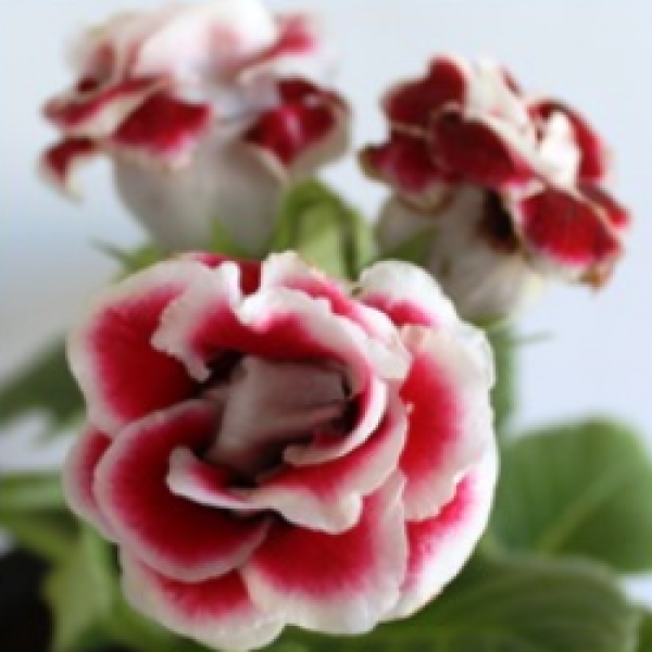 Gloxinia Red Plant