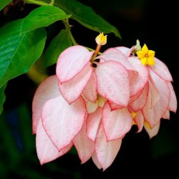 Mussaenda Pink Plant - Mussaenda erythrophylla, Ashanti Blood, Red Flag Bush Tropical Dogwood, Dhobi Plant
