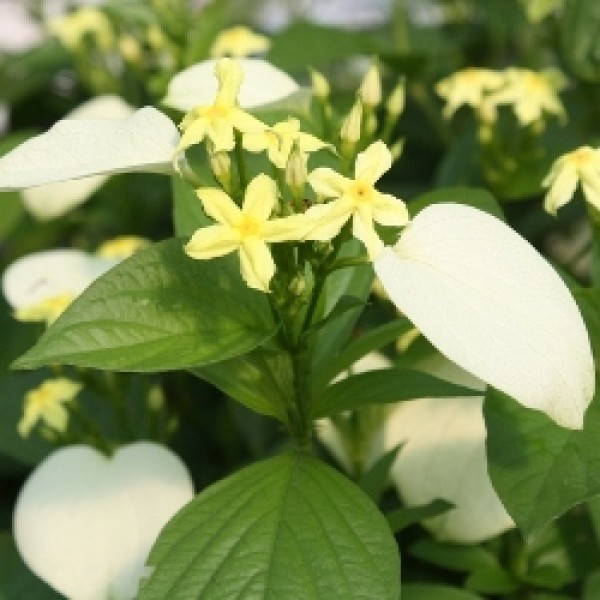Mussaenda White Plant - Mussaenda erythrophylla, Ashanti Blood, Red Flag Bush Tropical Dogwood, Dhobi Plant
