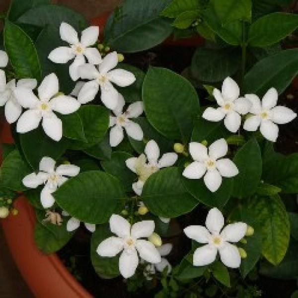 Srilankan Tagar Plant - Wrightia Antidysenterica