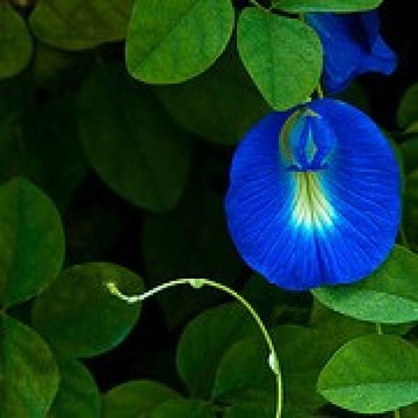 Clitoria Ternatea - Gokarna Blue(Aprajita plant)