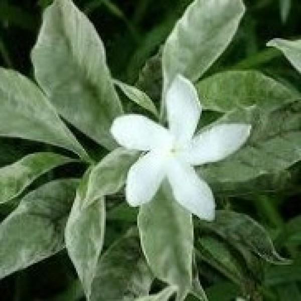 Tagar Variegated Plant - Crape Jasmine, Tabernaemontana, Chandani plant