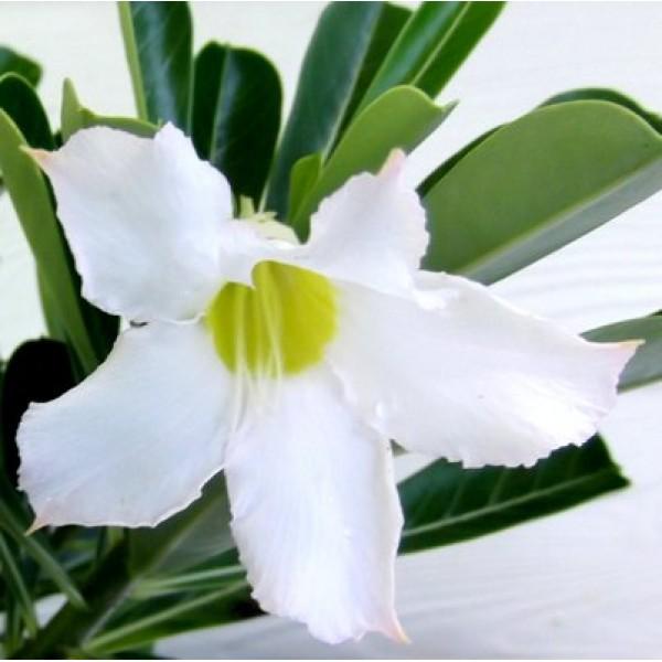 Adenium White (Grafted) - Adenium obesum, Desert Rose Plant