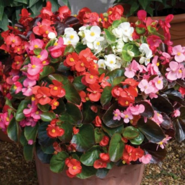 Omaxe Begonia Semerflorens Mixed Seeds