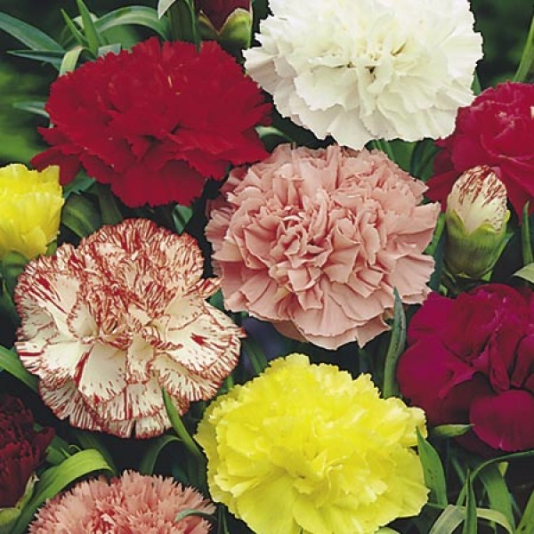 Carnation Giant Chabaud Mixed Seeds