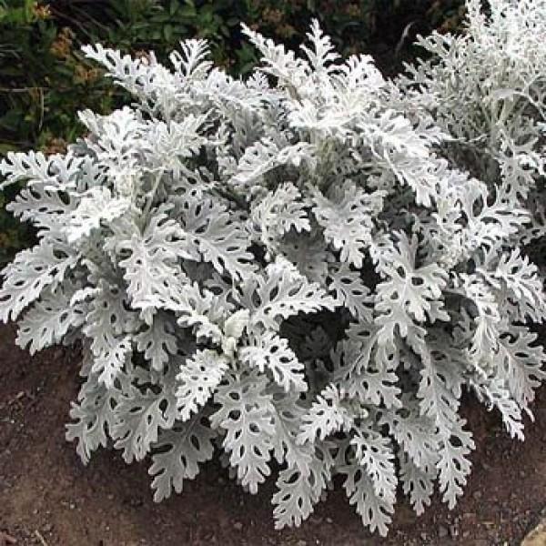 Cineraria Maritima - Silver Dust(Seeds)