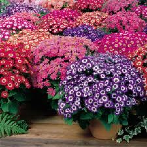 Omaxe Cineraria Mixed seeds