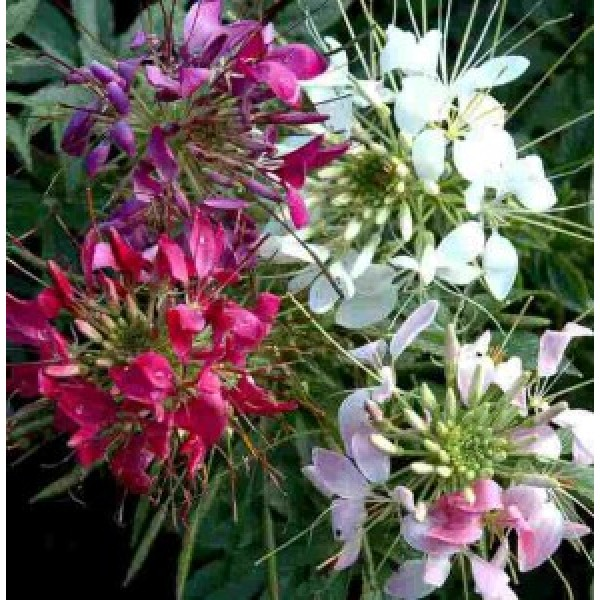 Cleome Spinosa Mixed Seeds