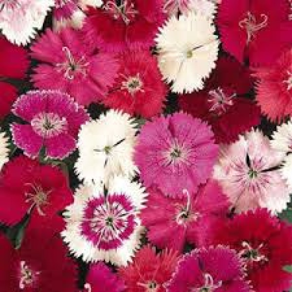 Omaxe Dianthus Baby Doll Mixed Seeds