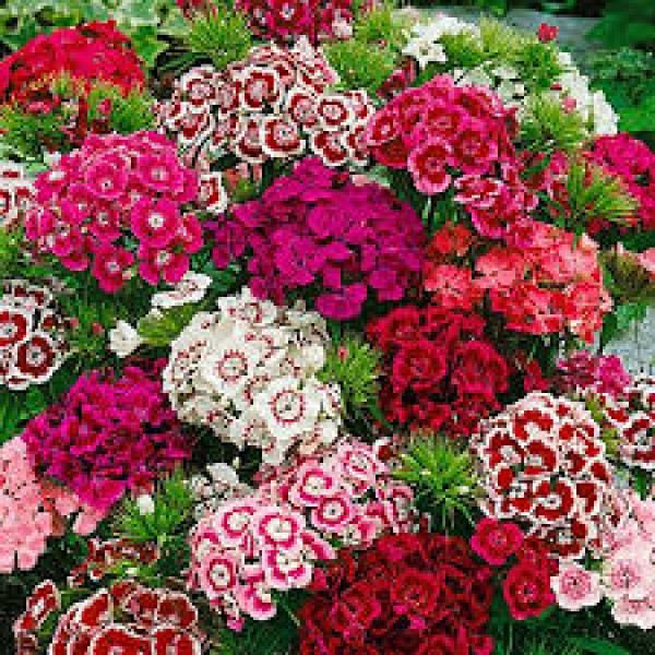 Omaxe Dianthus Barbatus Mixed Seeds