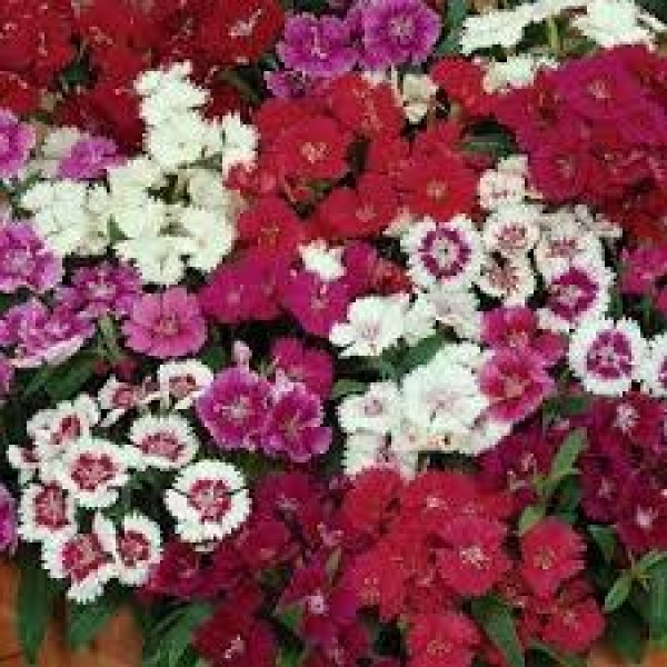Dianthus Chinensis Mixed
