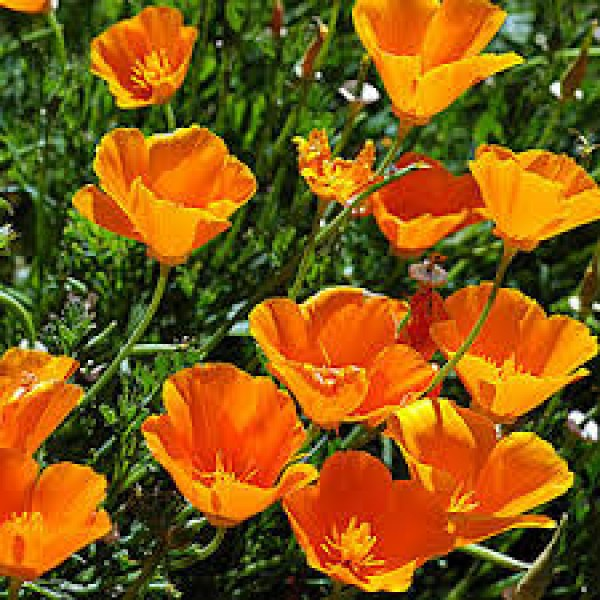 Omaxe Eschscholzia California Poppy Seeds