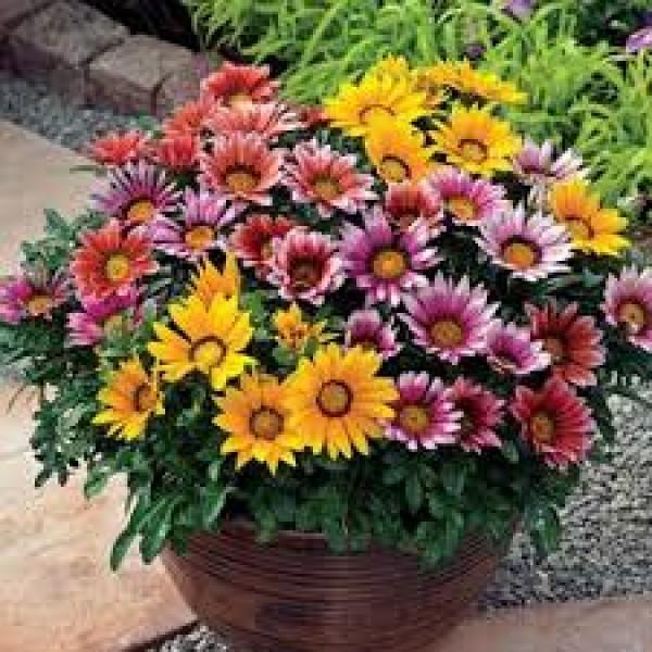Omaxe Gazania Sunshine Mixed Seeds(50 Seeds)