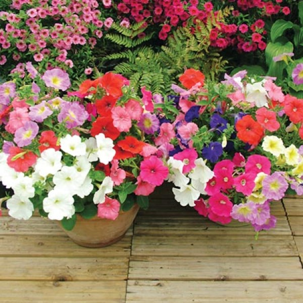 Omaxe Geranium Pacific Mixed Seeds (10 Seeds)