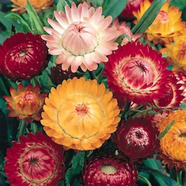 Omaxe Helichrysum Bracteatum Dwarf Mixed Seeds