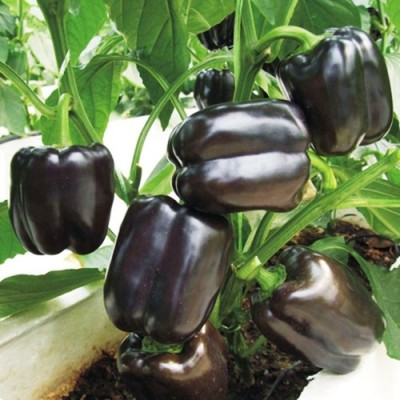 Omaxe BellPepper Purple Black (30 seeds)