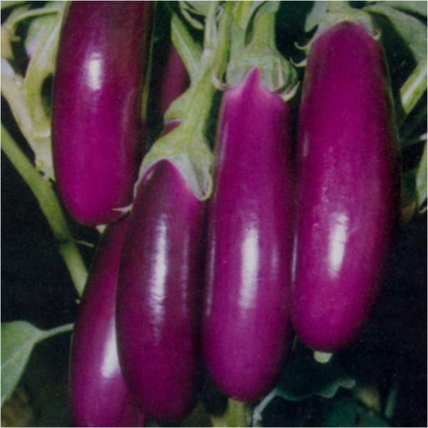 Omaxe Brinjal F1 Hybrid Purple Long seeds
