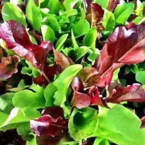 Lettuce Misticanza (100 seeds)