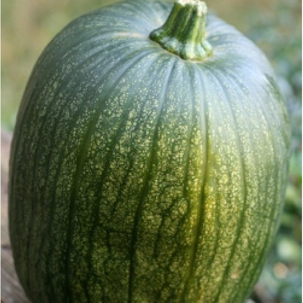 Sunrise Pumpkin Hybrid Seeds