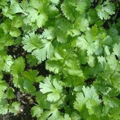 Sunrise Coriander Hybrid Seeds