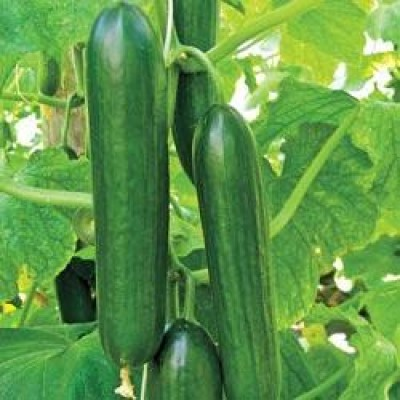 Omaxe Cucumber F1 Hybrid Sultan seeds (10 Seeds)