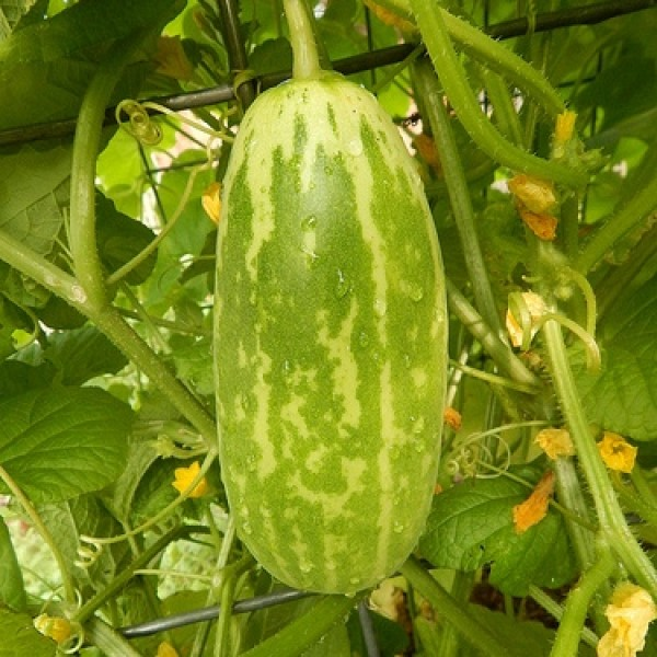 Omaxe Cucumber Samber Selection Seeds (30 Seeds)