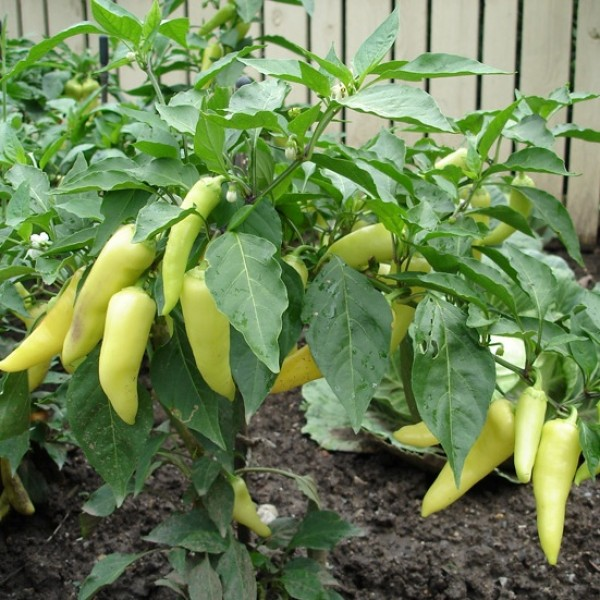 Omaxe Hot Pepper Yellow Desire Seeds (50 Seeds)
