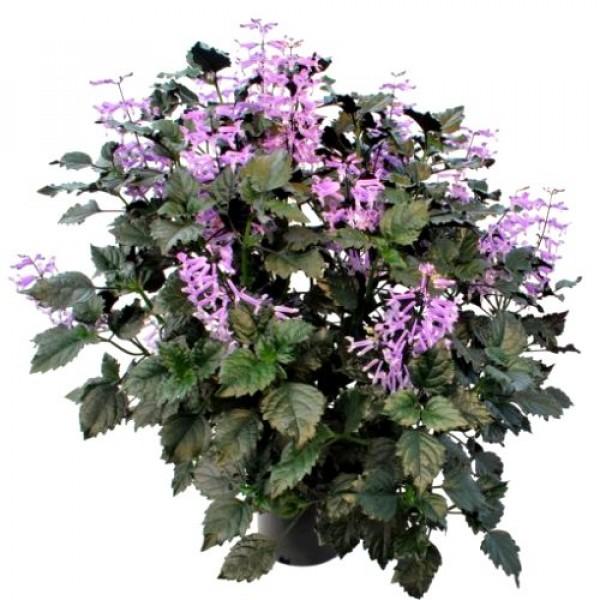 Plectranthus Velvet Elvis Plant