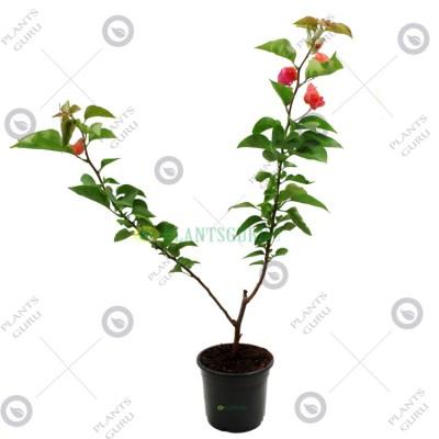 Bougainvillea Red Plant