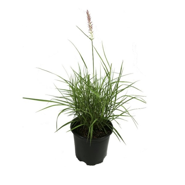 Pennistum Advena - Green Fountain Grass, Pampass Grass