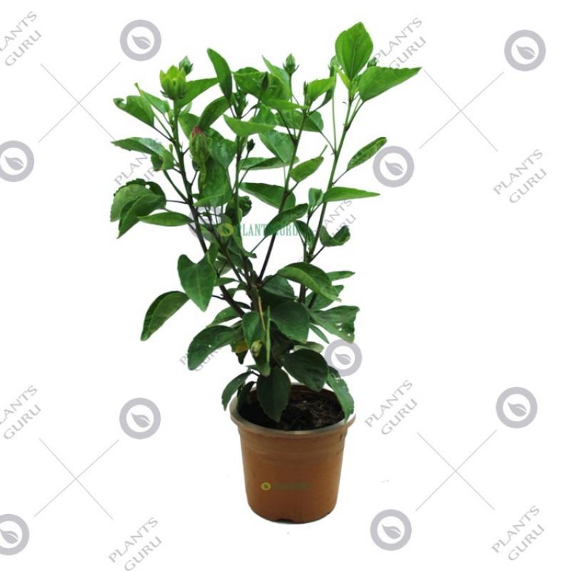 Buy Hibiscus Dwarf White Mix Jumbo Flower Plant Online At Plantsgurucom