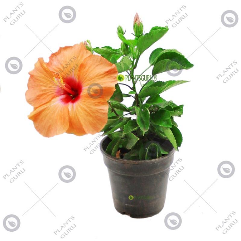 Buy Hibiscus Jasband Dwarf Orange Plant Online At Plantsgurucom