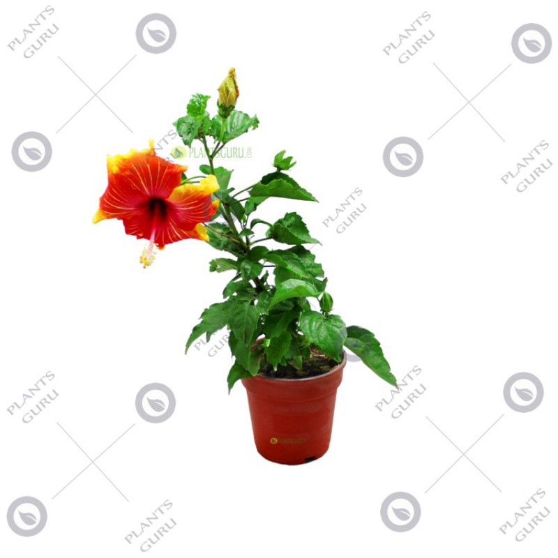 Buy Hibiscus Dwarf Prince Of Orange Plant Online At Plantsgurucom